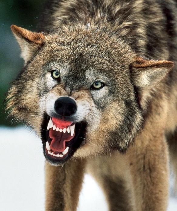 006 Ferocious Wolf