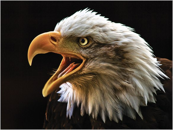 004 Screaming Bald Headed Eagle